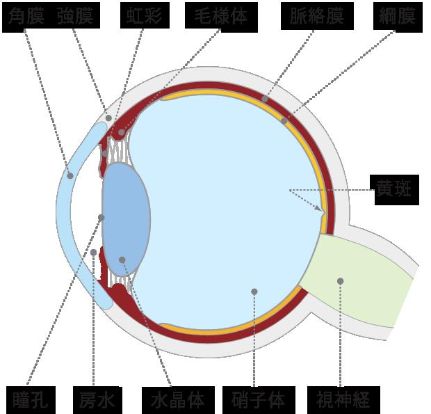 眼の水平断面図